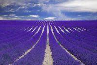 Fields of Lavender in Provence , France
