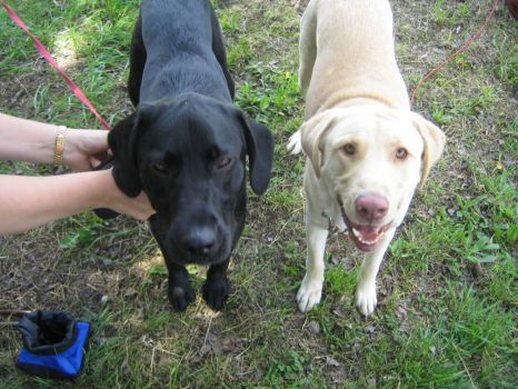 Kong-(Black lab) & Moses-(Yellow lab)
