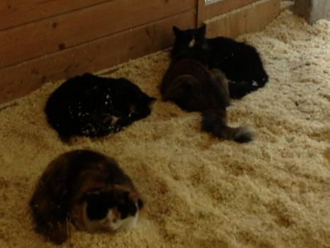 4 Fluffy Barn Kitties