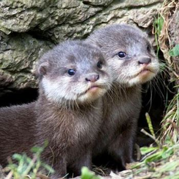 Wild for Wildlife and Nature - Otter Pups