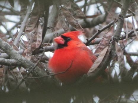 Cardinal in Redbud Tree