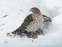 More Birds: Coopers Hawk, immature with prey