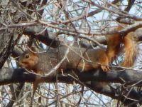 Lounging Fox Squirrel