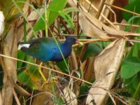 Purple Gallinule at Celery Fields in Sarasota, FL