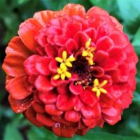 Just Watered Zinnia (large)