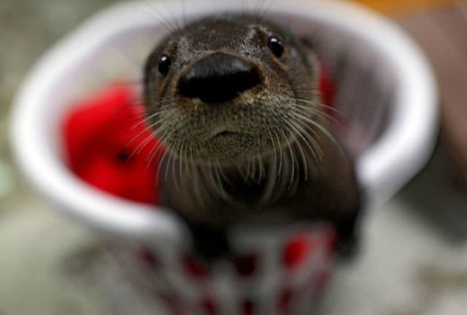 virginia aquarium's adopted orphan otter..ahhh..