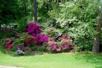 Azaleas by the Highway
