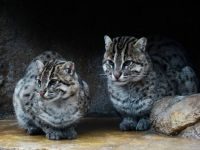 Prionailurus - Fishing cat (Prionailurus viverrinus) by muzina_shanghai