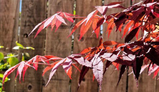 Sun-lit Japanese Maple on Fence