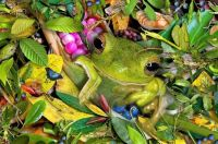 THEME ~ ''Amphibians, Fish & Reptiles'' ... Green Tree Frog
