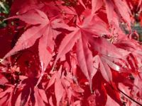 Theme trees: Late Autumn - November. Leaves of a Acer Palmatum  (Japanse Esdoorn = Japanese Maple)