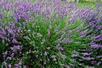 Lavendel, Frankrijk