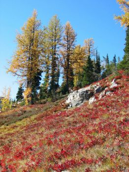 Larches - blueberries on Maple Pass Loop trail
