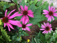 Love pinks
