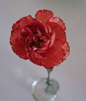 Carnation (try out)