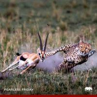 Thompson's Gazelle trying to escape Cheetah
