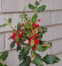 More Holly Berries in ABQ