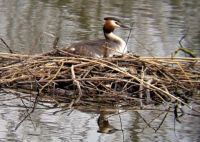 Great Crested Grebe nesting.