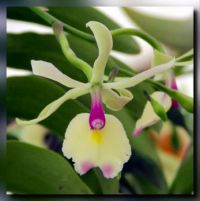 Epicattleya orchid