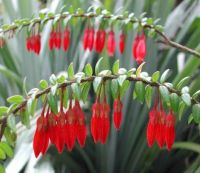 AGAPTES_SERPENS...RARE FLOWER FROM THE HIMALAYAS...