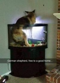 German Shepherd, free to a good home