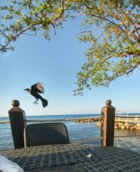 Black bird in Jamaica