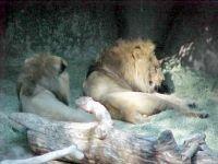 Theme: Safari/Wild Animals - Lions at San Diago Zoo