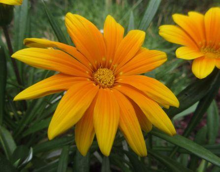 Gazania in my pergola planter