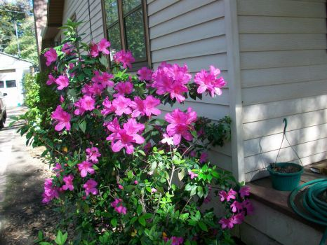 Purple Azaleas by Porch