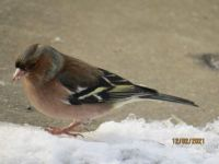 Male Chaffinch in the snow