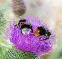 different kinds of bumblebee on one thistle