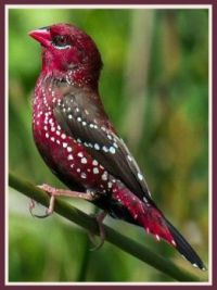 red avadavat, red munia or strawberry finch