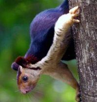 Giant Purple Squirrel