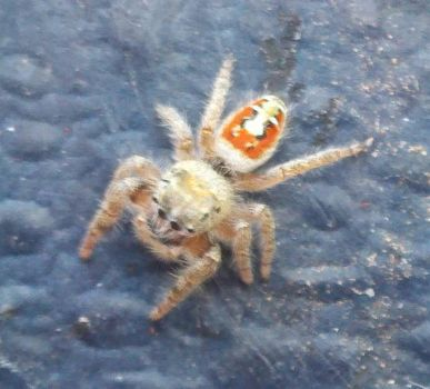 Jumping Spider of Albuquerque