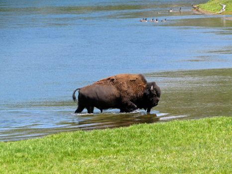 Buffalo - Yellowstone NP