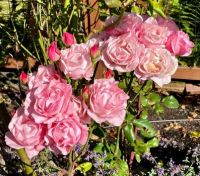 Roses in my garden and this is only the bottom row!!