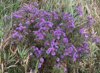 Purple Asters, October in Ontario