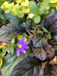 scaevola, bugle and creeping jenny--more challenging