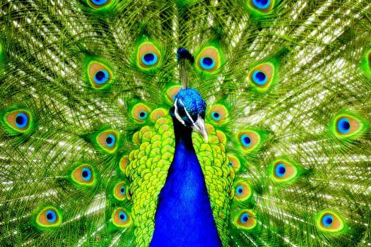 16775-desktop-wallpapers-peacock