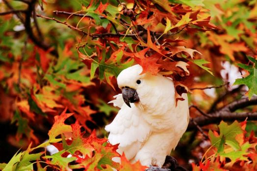 Sulphur-Crested Cockatoo Amongst Autumn Colors
