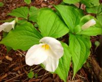 Another little bunch of trilliums.