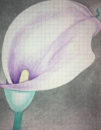 calla lily drawing 3