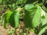 Western Hazelnut - new fresh leaves