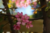 Cherry Blossoms bkyrd 17-05-21IMG_6880