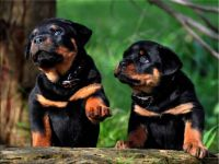 Rottweiler Puppies-Pumpkin & Pia Playing-(1)