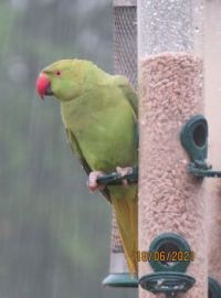 A very wet Rose-Ringed Parakeet feeding in the pouring rain.