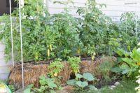 SAR_0550 Straw bale garden last year