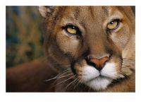Puma a/k/a Couger Close Up