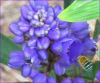 Blue-banded Bee on Blue Ginger flower.