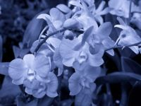 orchid_flowers